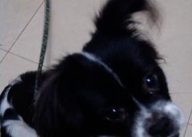 我家可爱的宠物狗狗黑白色大像蝴蝶犬品种