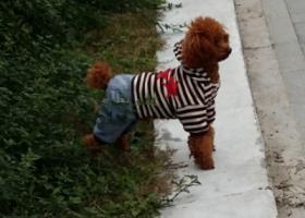 遗失爱犬泰迪一只,求好心人寻回或提供消息