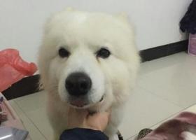 寻狗启示,寻爱犬白色萨摩耶,名叫宝贝,它是一只非常可爱的宠物狗狗,希望它早日回家,不要变成流浪狗。