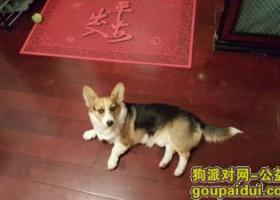 北京菜户营附近丢失带尾巴的柯基犬一只;重金寻找!