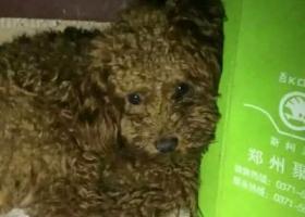 郑州市高新区盛和苑,寻找宠物泰迪犬