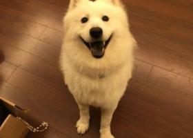 山西太原走失萨摩犬一只,悬赏3000元