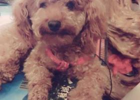 寻狗启示,东阳十里头丢失的泰迪,它是一只非常可爱的宠物狗狗,希望它早日回家,不要变成流浪狗。