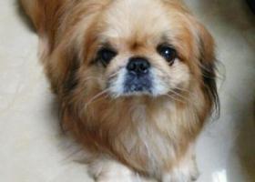 12月6日丢失京巴犬一只
