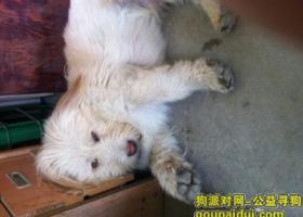 寻狗启示,3000元寻找一只白色长毛狗,它是一只非常可爱的宠物狗狗,希望它早日回家,不要变成流浪狗。