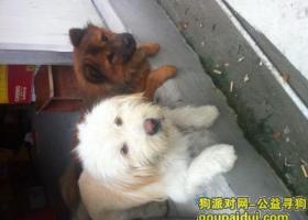 寻狗启示,3000元寻找一条白色狮子狗,它是一只非常可爱的宠物狗狗,希望它早日回家,不要变成流浪狗。