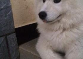 寻狗启示,在惠安县汽车总站附近丢失一只母萨摩耶,它是一只非常可爱的宠物狗狗,希望它早日回家,不要变成流浪狗。