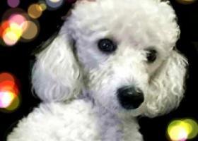 寻狗启示,哪位好心人看见我家小懒了?一只白色的巨型贵宾犬,它是一只非常可爱的宠物狗狗,希望它早日回家,不要变成流浪狗。