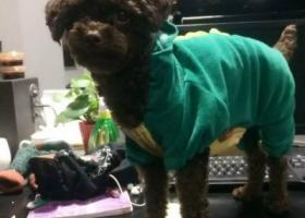 寻狗启示,寻找泰迪狗,身穿恐龙衣服,它是一只非常可爱的宠物狗狗,希望它早日回家,不要变成流浪狗。