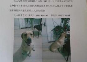 寻狗启示,皮皮在天津南开区平利里小区丢失的