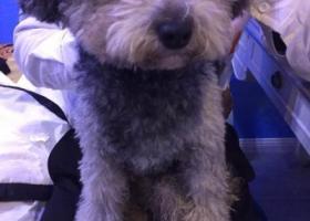 寻狗启示,捡到一只灰色比熊 寻找狗主人,它是一只非常可爱的宠物狗狗,希望它早日回家,不要变成流浪狗。