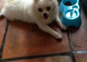 寻狗启示,我家的博美,在鑫业大厦旁跑丢,望大家帮我留意下,十分感谢,它是一只非常可爱的宠物狗狗,希望它早日回家,不要变成流浪狗。