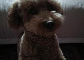 寻狗启示,谁家泰迪宝丢失?泰迪宝寻找回家路!,它是一只非常可爱的宠物狗狗,希望它早日回家,不要变成流浪狗。