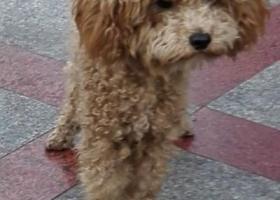 北京市海淀区五道口重金寻棕色泰迪