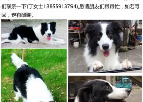 寻狗启示,寻找爱犬-3岁大的边境牧羊犬,它是一只非常可爱的宠物狗狗,希望它早日回家,不要变成流浪狗。