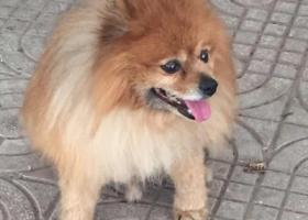 重金寻狗 丢失一只黄色博美犬 请好心的人们帮他回家!