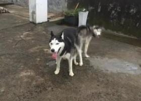 寻狗启示,浙江横店丢失一岁半公哈士奇一只!,它是一只非常可爱的宠物狗狗,希望它早日回家,不要变成流浪狗。