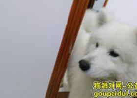 寻狗启示,捡到萨摩耶公狗一只!!!,它是一只非常可爱的宠物狗狗,希望它早日回家,不要变成流浪狗。