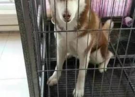 寻狗启示,一个月前富区痛失棕红色哈士奇爱犬,重金求助求扩散!,它是一只非常可爱的宠物狗狗,希望它早日回家,不要变成流浪狗。