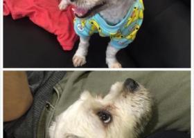 寻狗启示,重酬重酬 珠海香洲区的朋友 帮我留意一下,它是一只非常可爱的宠物狗狗,希望它早日回家,不要变成流浪狗。