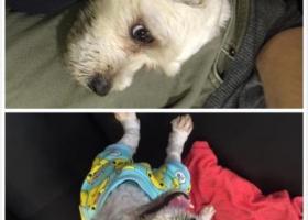 寻狗启示,珠海香洲区的朋友帮忙找找我的狗狗,它是一只非常可爱的宠物狗狗,希望它早日回家,不要变成流浪狗。