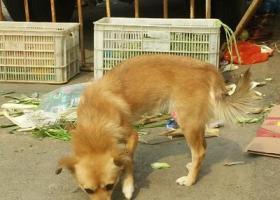 河北衡水-枣强-加会-故城等或者更大范围,找黄色土狗,找到狗者现金酬谢5000元