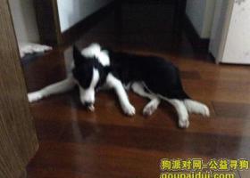上海静长寿路达安花园重金寻找边境牧羊犬