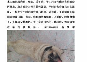 在深圳公明茨田埔附近丢失了一条巴哥狗狗,急寻