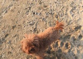 在秦皇岛北二环附近丢失了一条泰迪狗,急寻