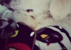 寻狗启示,湛江寻狗!!白色宠物犬!!!1月14晚观海长廊丢失。,它是一只非常可爱的宠物狗狗,希望它早日回家,不要变成流浪狗。