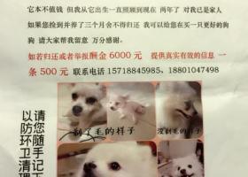 酬金6000元北京寻爱犬白色博美