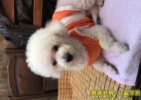 上海杨浦区白色泰迪丢失 名字叫丢丢