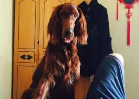 2015年1月14丢了一只棕色大狗!毛色很好