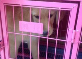 寻找一只2个月大的在华东勘测院附近走失的小金毛犬,毛毛。