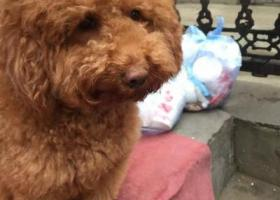 寻找爱犬 他叫Lucky,是一只棕色的贵宾(泰迪)犬,于2016.01.21下午4时在秦岭路岗坡路北50米煤机医院旁走失,身高40cm左右,大概20斤,是个胖子,毛也比较长,头上,屁股上毛颜色稍浅一些,公狗