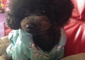 寻狗启示,寻狗启示珠海市香洲区第一派出所附近黑色贵宾走失,它是一只非常可爱的宠物狗狗,希望它早日回家,不要变成流浪狗。