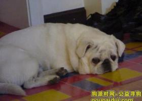 北京良乡白色巴哥走失