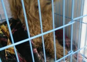 寻狗启示,一两岁泰迪.脖子上有项圈跟绳子,它是一只非常可爱的宠物狗狗,希望它早日回家,不要变成流浪狗。