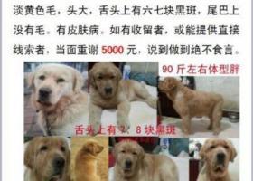 济南槐荫区西沙王庄村悬赏五千元寻找金毛