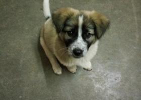 寻狗启示,1月27日晚,在池州殷汇显化村长龙组丢失一条短腿胖胖狗,它是一只非常可爱的宠物狗狗,希望它早日回家,不要变成流浪狗。
