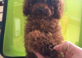 寻狗启示,2月1号下午4  5点左右在莆田文献路丢失一条泰迪,帮忙找回。,它是一只非常可爱的宠物狗狗,希望它早日回家,不要变成流浪狗。