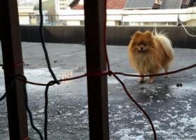 寻狗启示,谁家的博美丢了!清河区上海路至加州城至丰登路段,它是一只非常可爱的宠物狗狗,希望它早日回家,不要变成流浪狗。