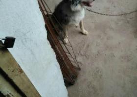 寻狗启示,江西赣州南康谭东镇寻狗,它是一只非常可爱的宠物狗狗,希望它早日回家,不要变成流浪狗。