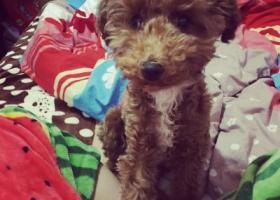 寻狗启示,在黑龙江大庆市采油四厂2月6日晚饭时间丢失一条泰迪狗,它是一只非常可爱的宠物狗狗,希望它早日回家,不要变成流浪狗。