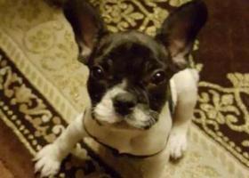 寻狗启示,寻狗启示------爱犬牛牛快回来!,它是一只非常可爱的宠物狗狗,希望它早日回家,不要变成流浪狗。