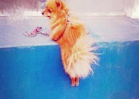 寻狗启示,一只黄色博美犬,红色项圈黑色边,尾巴垂下来,它是一只非常可爱的宠物狗狗,希望它早日回家,不要变成流浪狗。