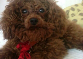 寻狗启示,我的狗狗丢了在华豫苑,棕色泰迪,后背有一块掉毛,棕色布项圈,找到必有重谢。18844522669,它是一只非常可爱的宠物狗狗,希望它早日回家,不要变成流浪狗。