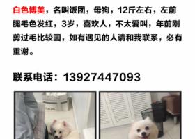 深圳南山南海大道深南立交附近走丢白色三岁母博美犬