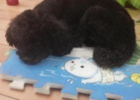 寻狗启示,2016年2月7日在津泰捡到黑色贵宾,它是一只非常可爱的宠物狗狗,希望它早日回家,不要变成流浪狗。