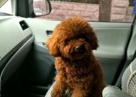 寻狗启示,5000元寻丢失的泰迪小狗,它是一只非常可爱的宠物狗狗,希望它早日回家,不要变成流浪狗。